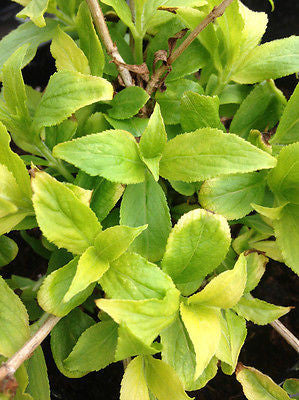 Weigela Cappucino - Champion Plants