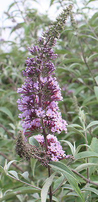 Buddleia davidii Autumn Beauty - Champion Plants