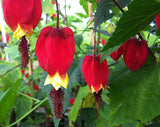 Abutilon megapotamicum - AGM - Champion Plants