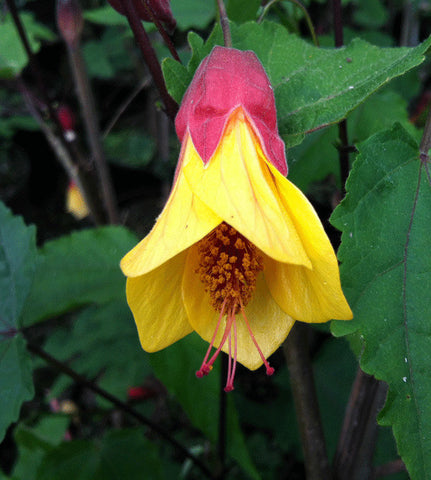 Abutilon megapotamicum Kentish Belle - AGM - Champion Plants