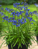 Agapanthus Summer Love™  Blue (PBR)