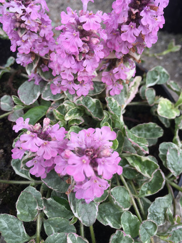 Ajuga Pink Lightning - Champion Plants