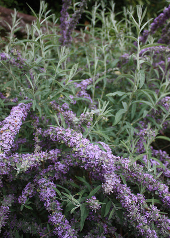 Buddleia alternifolia Argentea - Champion Plants