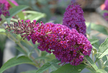 Buddleia davidii Buzz Magenta- Dwarf Buddleia - Champion Plants