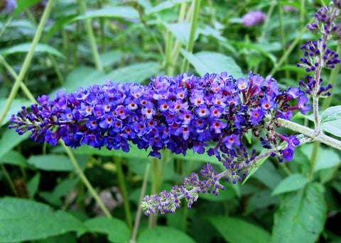 Buddleia davidii Empire Blue - Champion Plants