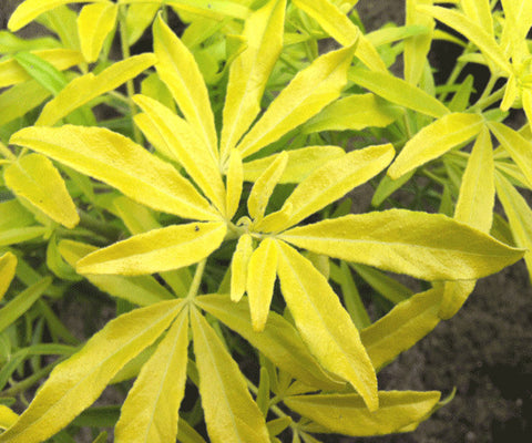 Choisya Goldfingers - Champion Plants