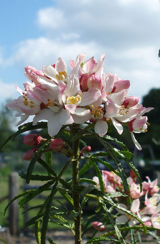 Choisya Apple Blossom - Champion Plants - 1