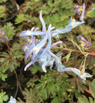 Corydalis China blue - Champion Plants