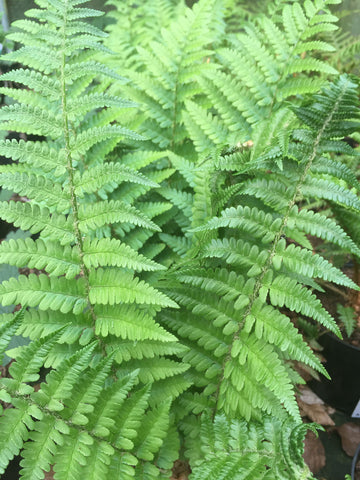 Dryopteris felix mas - Champion Plants - 1