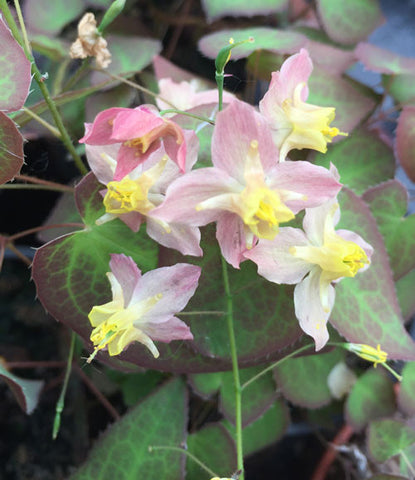 Epimedium Roseum - Champion Plants