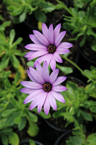 Osteospermum Cannington Roy