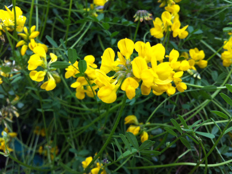 Hippocrepis comosa (Horseshoe Vetch) - Champion Plants