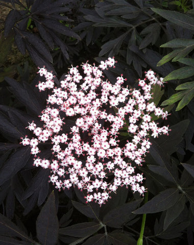 Sambucus Black Lace - Champion Plants - 1