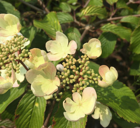 Viburnum plicatum Darts Red Robin - Champion Plants
