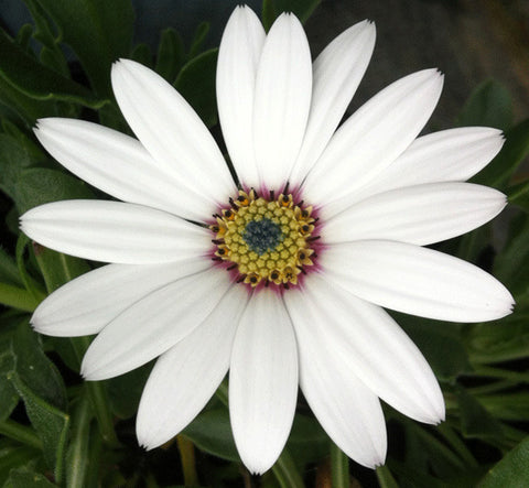 Osteospermum Weetwood - Champion Plants