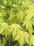Acer palmatum Orange Dream (Japanese Maple) - Champion Plants