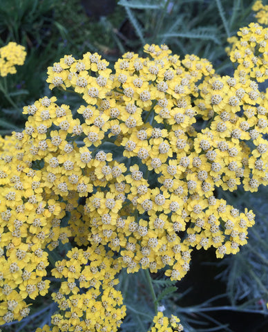 Achillea Terracotta - Champion Plants
