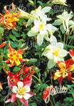 Aquilegia Dragonfly Mix