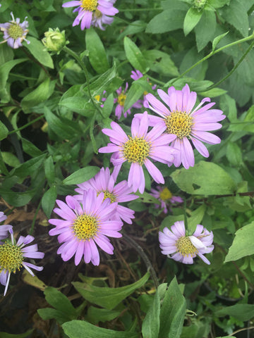 Aster x frikartii Flora's Delight - Champion Plants