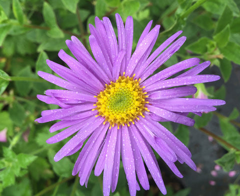 Aster x frikartii Monch - AGM - Champion Plants