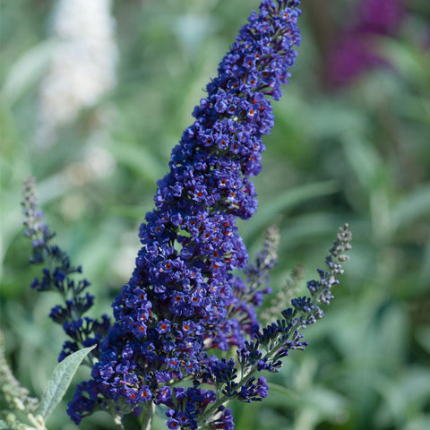 Buddleia davidii Buzz Indigo - Dwarf Buddleia - Champion Plants