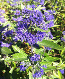 Caryopteris x cland. Heavenly Blue - Champion Plants