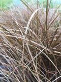Carex buchananii - Champion Plants - 1