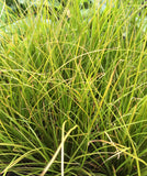 Carex testacea - Champion Plants
