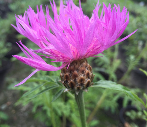 Centaurea dealbata - Champion Plants - 1