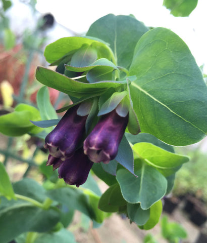 Cerinthe Pride of Gibraltar - Champion Plants