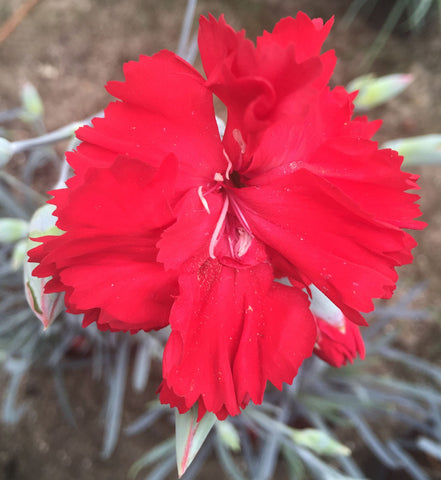 Dianthus Lady In Red - Champion Plants