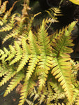 Dryopteris erythrosora - Champion Plants