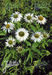 Echinacea purpurea Happy Star