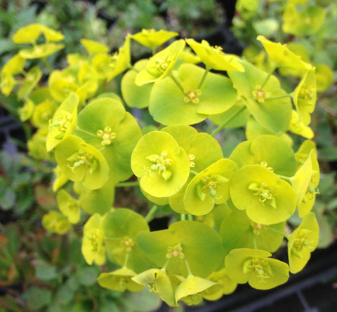 Euphorbia amy. Robbiae - Champion Plants