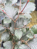 Fagus sylvatica Purpurea - Champion Plants