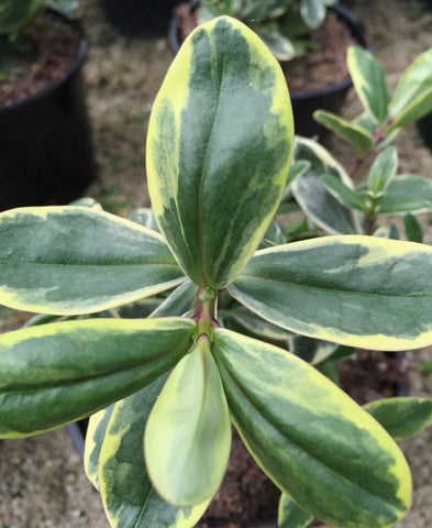 Hebe x franciscana Variegata (syn. Silver Queen) - AGM - Champion Plants