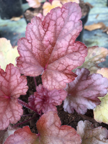 Heuchera Peach Flambe - Champion Plants