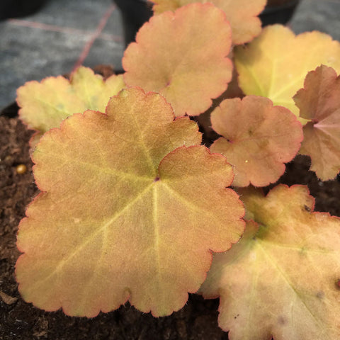Heuchera Creme Brule - Champion Plants