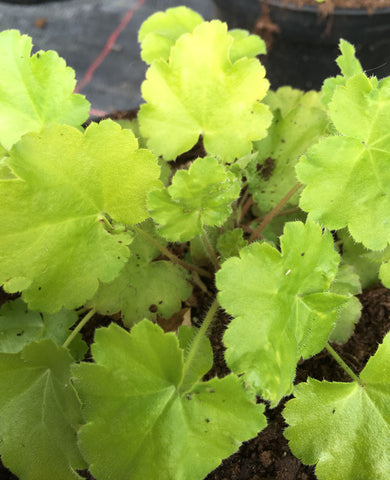 Heuchera Key Lime Pie - Champion Plants