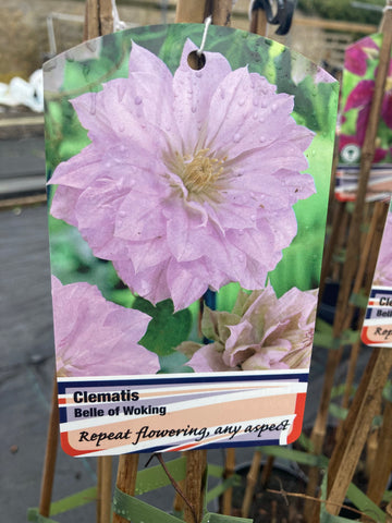 Clematis Belle of Woking