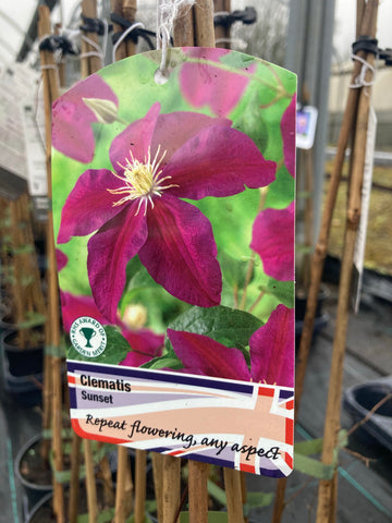 Clematis Sunset - AGM