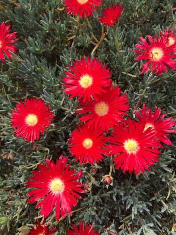 Lampranthus Red