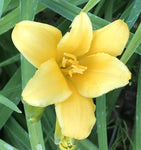 Hemerocallis Mini Stella (Day Lilly)