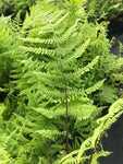 Athyrium filix-femina Lady In Red