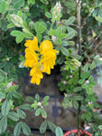 Genista canariensis (Fragrans) - AGM