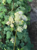 Thalictrum delavayi Album