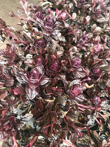 Ajuga Choclate Chip