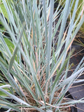Elymus magellanicus - Champion Plants