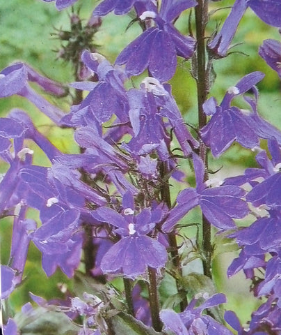 Lobelia Fan Blue - Champion Plants