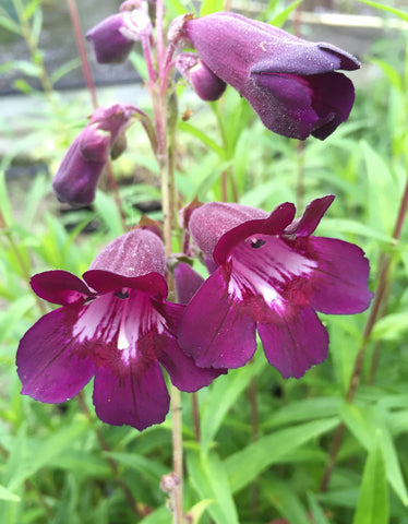 Penstemon Blackbird - Champion Plants